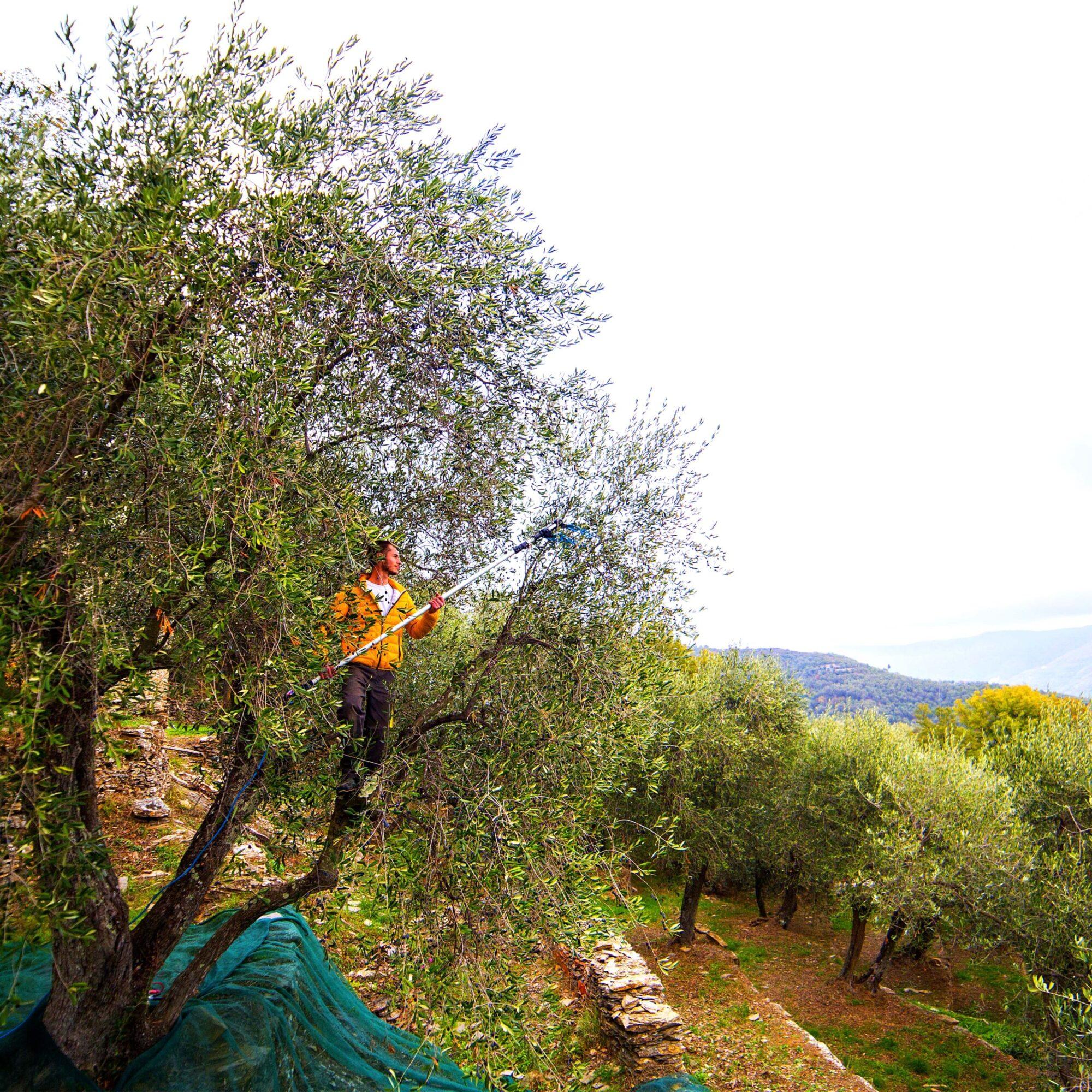 raccolta olive albero