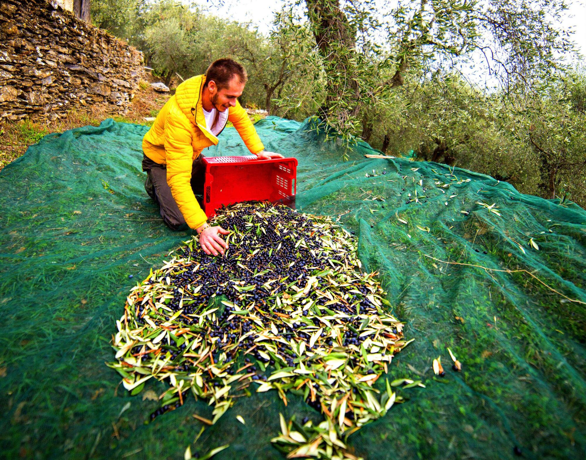 raccolta-olive-asplanato